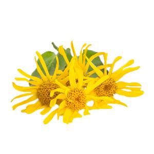 Image of Arnica Montana flowers