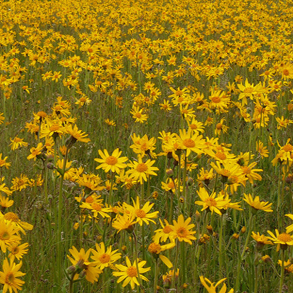 Image of Arnica Montana field of flowers